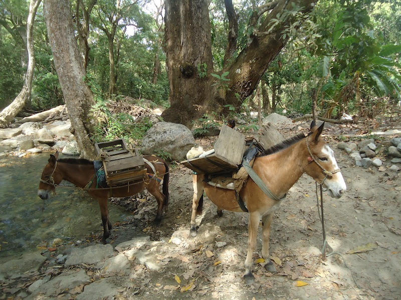 Bringing stones from the rivers with mules to the construction sites uphill