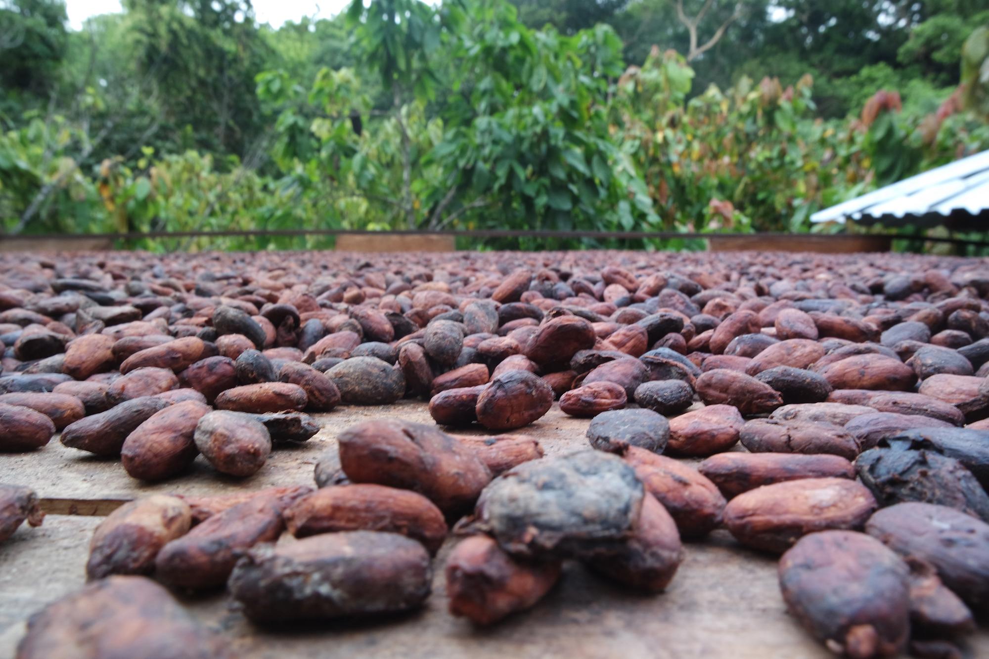 Plantation de cacao
