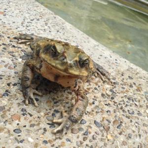 Frog found in Finca Carpe Diem