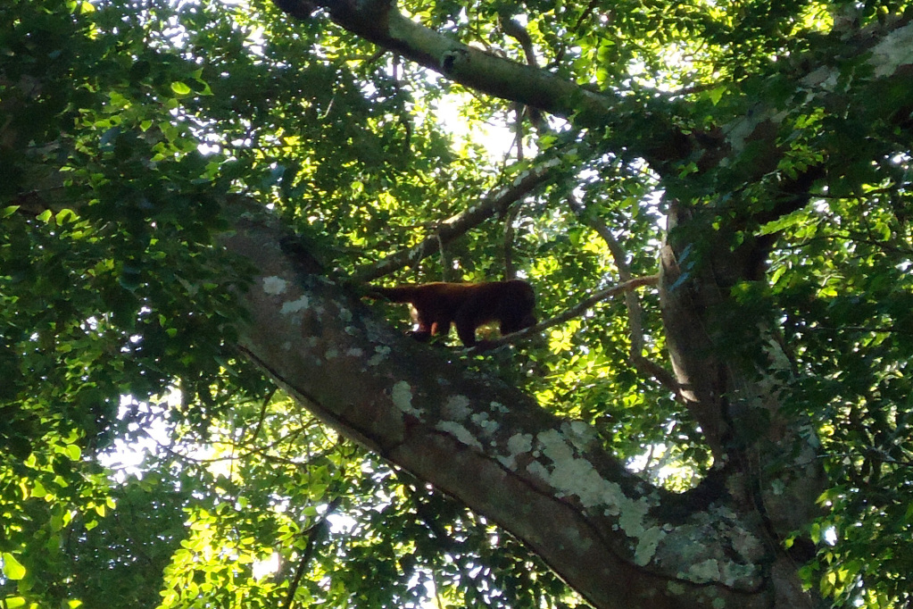 Monkey in a tree of Finca Carpe Diem
