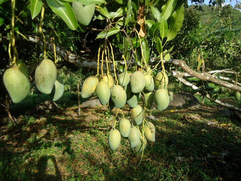 Mangos and permaculture in Finca Carpe Diem