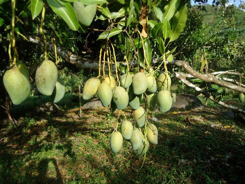 Mangos and permaculture in Finca Carpe Diem
