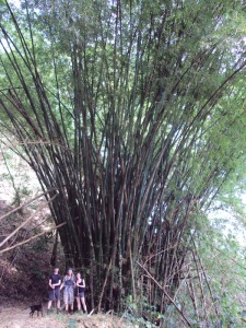 Bamboo on the way between Minca and Paso del mango