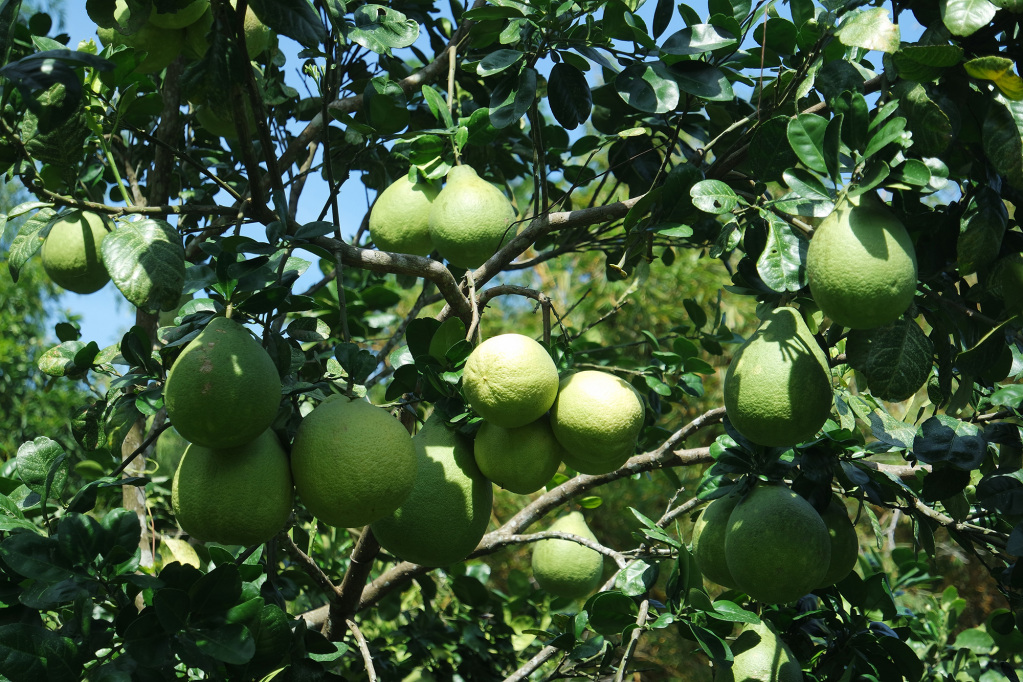Pomelo en organic farm of Carpe Diem