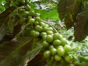 Coffee farm in between Minca and Paso del Mango