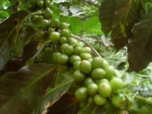 Coffee farm in between Minca and Paso del Mango