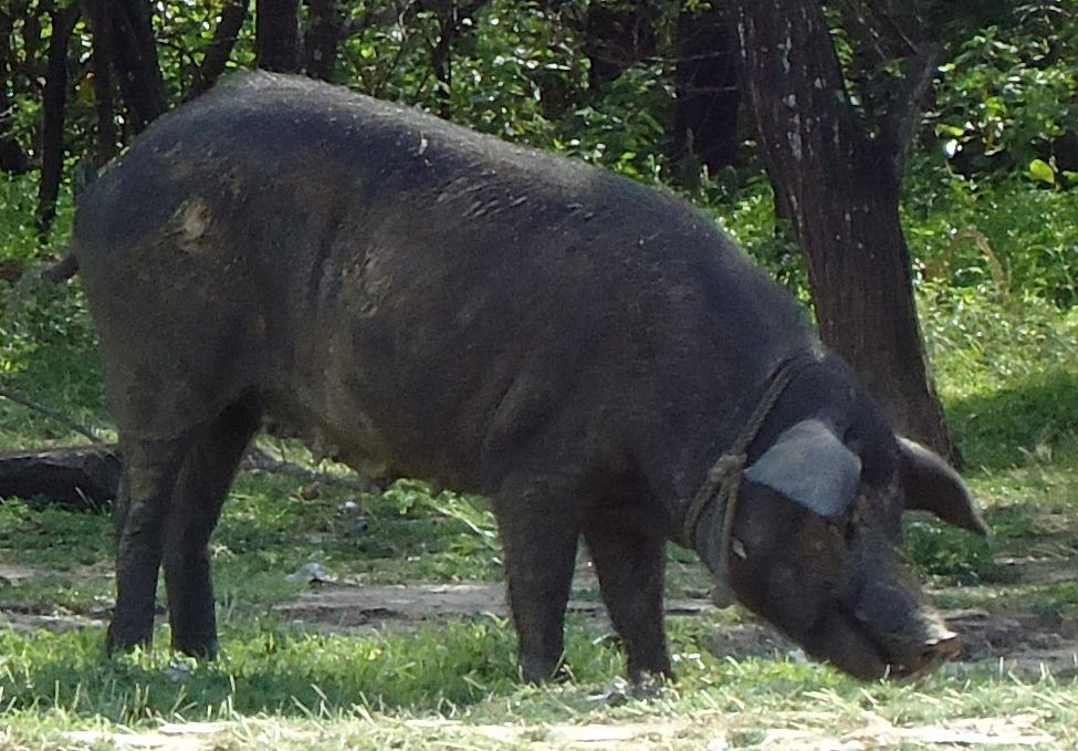 Pig near permaculture base of Finca Carpe Diem