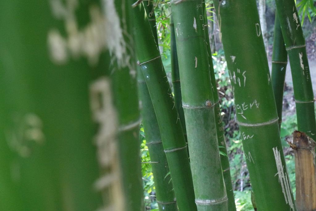 Guadua (bamboo) in Paso del Mango
