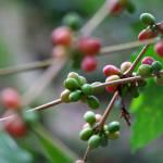 Coffee plants in Finca la Candelaria