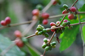 Coffee plants in Finca la Candelaria