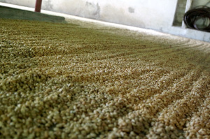 Coffee drying in Finca la Victoria